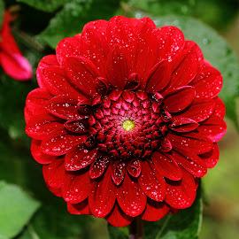 Un cercle parfait by Gérard CHATENET - Flowers Single Flower