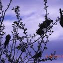 Pale-headed Rosella; Australian King Parrot; Figbird
