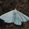 Black-veined moth
