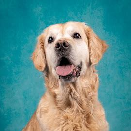 The Happy Golden  by Astrid Kallerud - Animals - Dogs Portraits ( pets, golden retriever, doggie, dogs, animal, dog, pet, dog portrait )