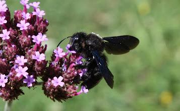Photo: Xylocopa violacea   Hymenoptera > Apidae