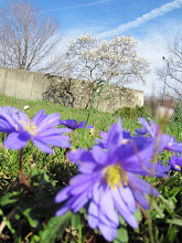 Photo: Purple flowers in front of a white magnolia tree at Wegerzyn Gardens in Dayton, Ohio.