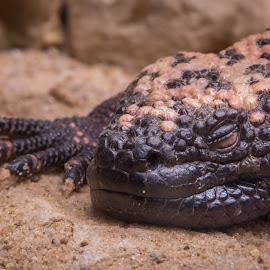 Sleeping Lizard by Eva Ryan - Animals Reptiles ( ugly, lizard, toes, sleeping, reptile, oklahoma city zoo,  )