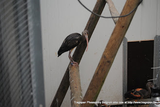Photo: young scarlet ibis on perch in isolation unit
