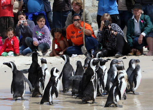 African penguins at Boulders in Cape Town are relaxed in human company, making them a big tourist drawcard. Picture: SUNDAY TIMES