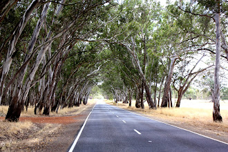 Photo: Year 2 Day 226 - Love This Road With the Gums Forming an Arch