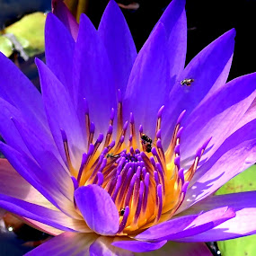 tropical water lily by Fred Goldstein - Nature Up Close Other plants ( water, macro, lily, blue, tropical, visitor,  )
