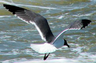 Photo: Laughing gull
