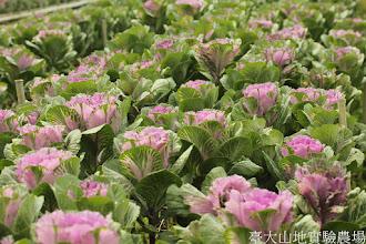 Photo: 拍攝地點: 梅峰-一平臺 拍攝植物: 葉牡丹 拍攝日期: 2015_10_05_FY