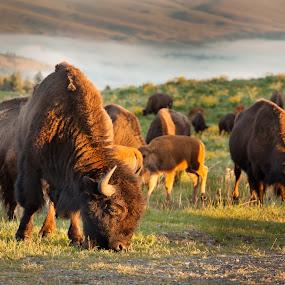Bison Grazing by Shaun Schlager - Animals Other Mammals