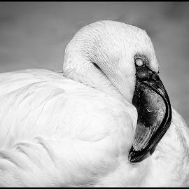 African Flamingo by Dave Lipchen - Black & White Animals ( african flamingo )