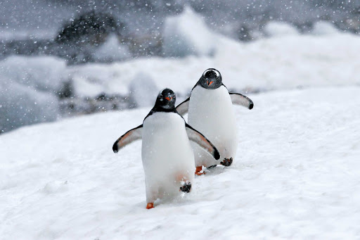 Young gentoo penguins trundle across a snow field in Antarctica during a Lindblad expedition.