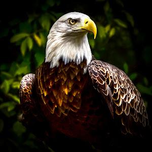 Bald Eagle Latest_.jpg