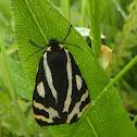 Wood Tiger Moth