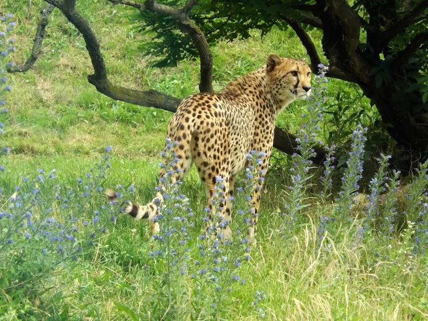 Guépard d'Afrique du Sud, Doué la Fontaine - Tous droits réservés