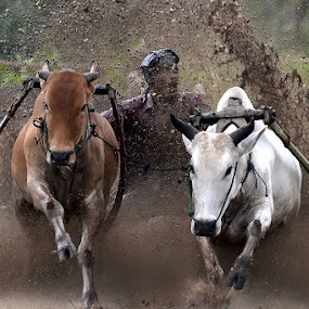 Rock in the Mud by Achmad Tibyani - People Street & Candids ( bull race, pacu jawi )
