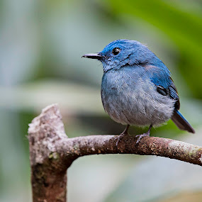 Flycatcher by Pungut Luntar - Animals Birds ( nature wings, bird, tokki, wild, blue, flycatcher, wildlife, birds )