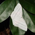 Micronia aculeata 一點燕蛾