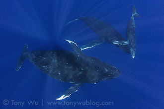 Photo: This is Toluhiva (calf #39, female). Here, the calf is nuzzling the escort, demonstrating that escort whales can be on good terms with babies