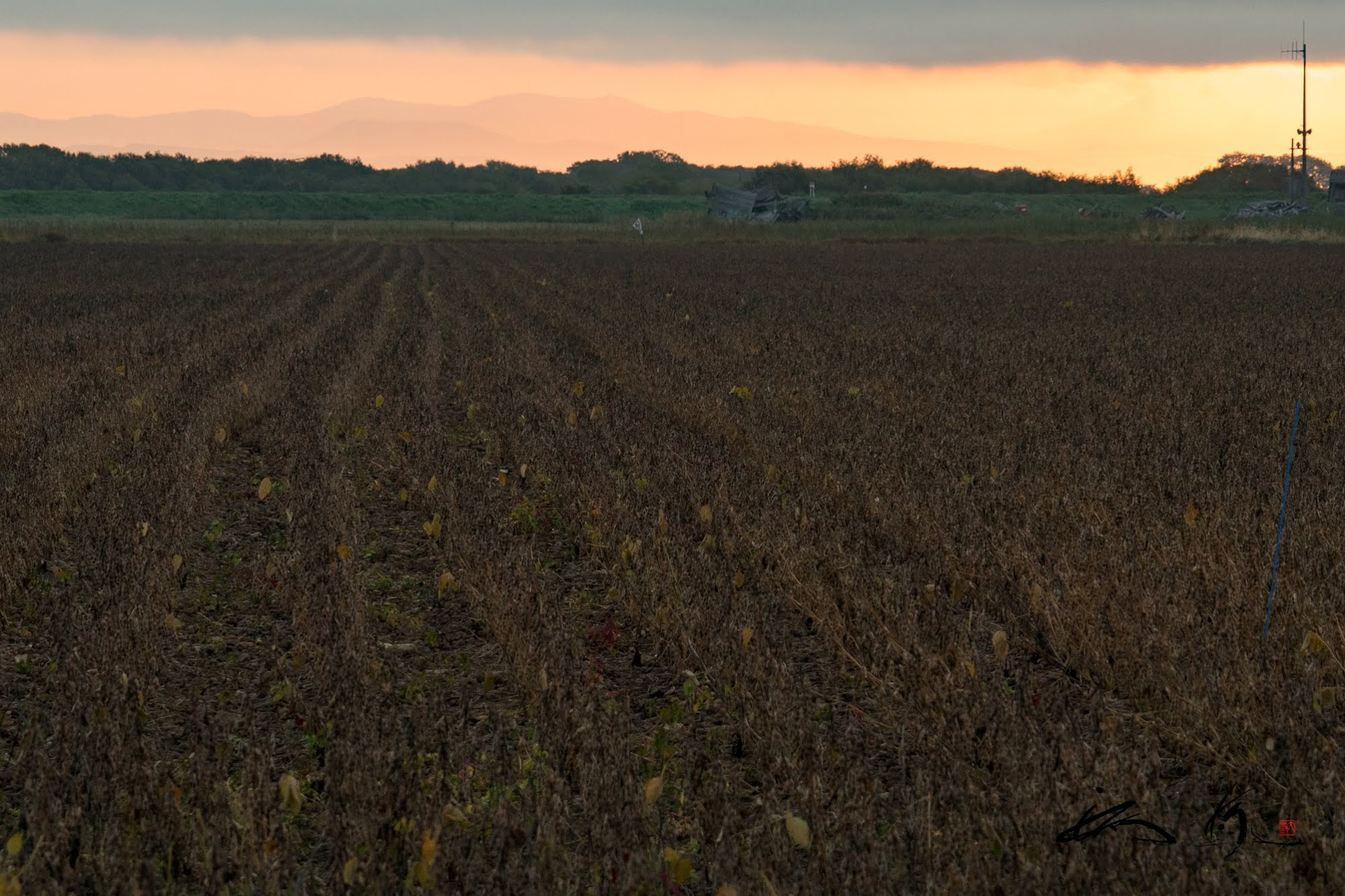 収穫を待つ大豆畑