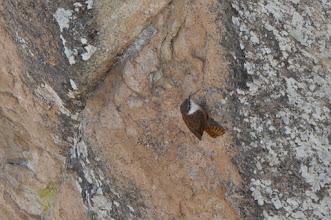 Photo: Canyon Wren (Schluchtenzaunkönig); Bernal, QRO