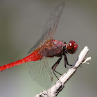 Rufous Marsh Glider