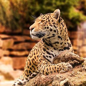 Leopard by Anita Meis - Animals Lions, Tigers & Big Cats ( leopard, fur, rocks, waterfall, spots, panther, big cat )