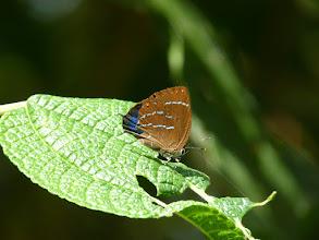 Photo: LOVELY (AEGIDES) HIGHSTREAK--micandra aegides--EL ARRAYAN