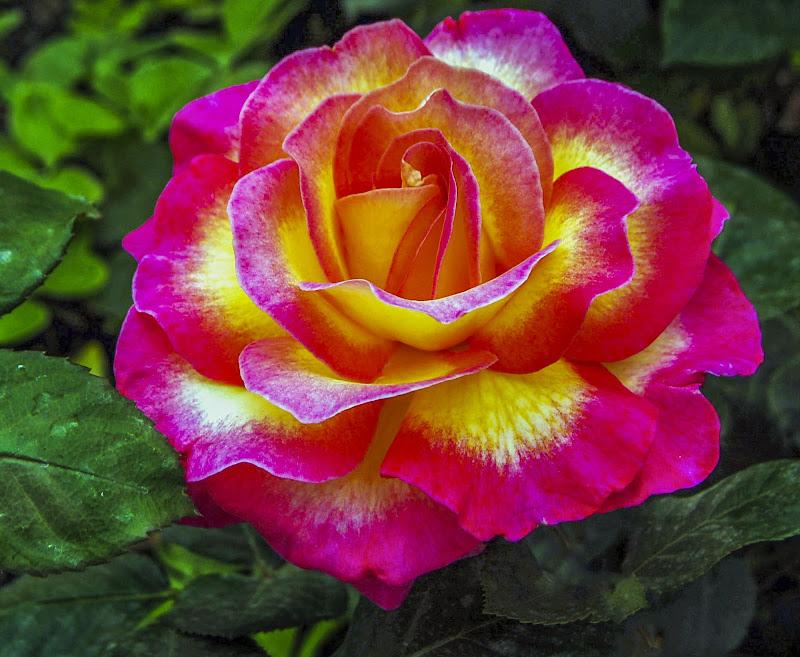 Rosae di albertocastagnaphoto