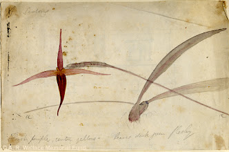 Photo: Watercolour painting of an orchid from Sadong, Sarawak, Borneo, by A. R. Wallace in 1855. Copyright The A. R. Wallace Memorial Fund.