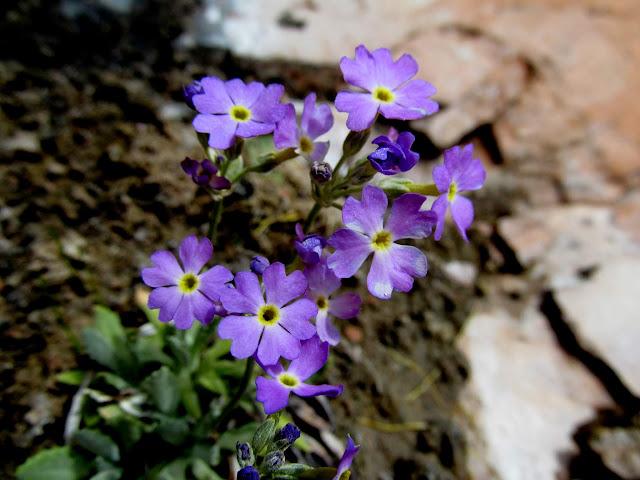 Cave primrose (Primula specuicola)