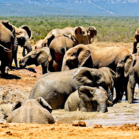 Waterhole Fun by Anne-Marie  Fuller  - Animals Other Mammals ( nature, nature up close, elephants, nature photography, wildlife,  )