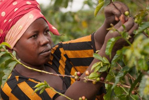 Rituel Café - café rwandais - éthique - Afrique