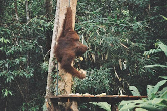 Photo: #021-Kuching-Le parc national-Orang-Outan
