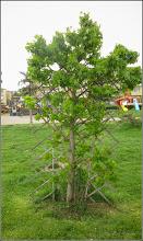 Photo: Arbore de gumă (Liquidambar orientalis) - din Turda. Parcul Teilor - 2019.05.08