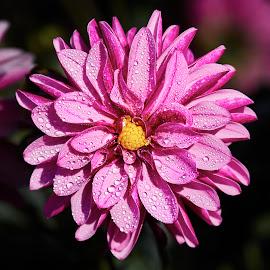 Dahlia 8552 P by Raphael RaCcoon - Flowers Single Flower