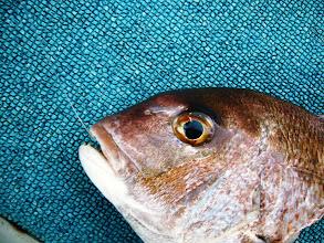 Photo: おおー! いい真鯛だー! ・・・んー!?