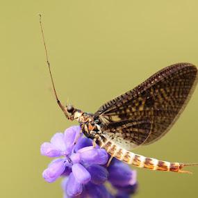 mayfly by Adem Yağız - Animals Insects & Spiders ( macro, nature, mayfly, incest, fly, bug, sinek, makro, close up, böcek )