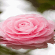 Blooming Pink Rose LWP for PC-Windows 7,8,10 and Mac