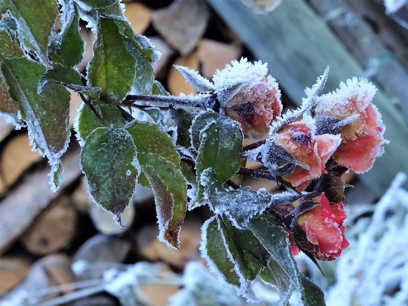 Il freddo non risparmia neanche la rosa più bella di lenuccia4