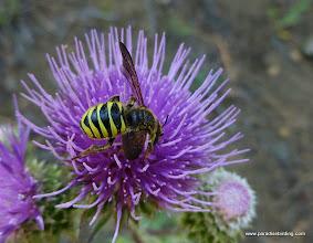 Photo: Crabronid Wasp on thistle.