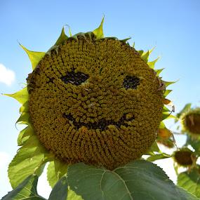 Mister Sunflower  by Alina Vicu - Novices Only Flowers & Plants ( green, sunflowers, sunflower, yellow, filed,  )