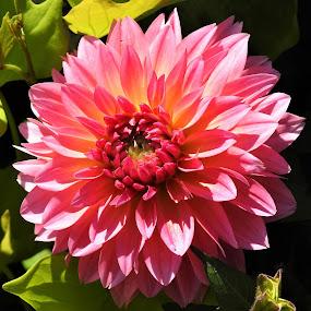 Pink Dwarf Dahlia by Carol Leynard - Flowers Single Flower ( perennial, dahlia, plant, pink petals, flower )