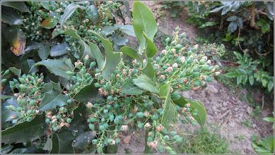 Photo: Turda, Piata 1 Decembrie 1918 - spatiu verde din fata Catedralei Ortodoxe, Mahonia (Mahonia aquifolium) - 2018.05.05