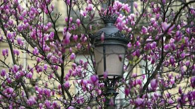 Photo: NAT127 SAN SEBASTIÁN 19/03/2012- Vista de un magnolio en flor hoy en una céntrica calle de San Sebastián, donde ya empieza a notarse la llegada de la primavera. EFE/Javier Etxezarreta