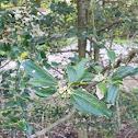 Nellie Stevens Holly Tree