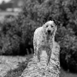 Wall dog by Vix Paine - Animals - Dogs Portraits ( white dog brown spots, aperture, white, tongue, collie, brownspots, black and white, dog, wall, colliecross, staffycross, tongue out )