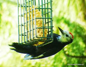 Photo: Fledgling male White-headed Woodpecker getting an easy meal, Best Western Ponderosa Lodge, Sisters, OR