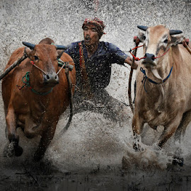 An extreme sports from minang culture in Indonesia by MemenSaputra Mms - Sports & Fitness Other Sports ( indonesia, cow race, memensaputramms, travel, memensaputra, pacu jawi, culture, minang,  )