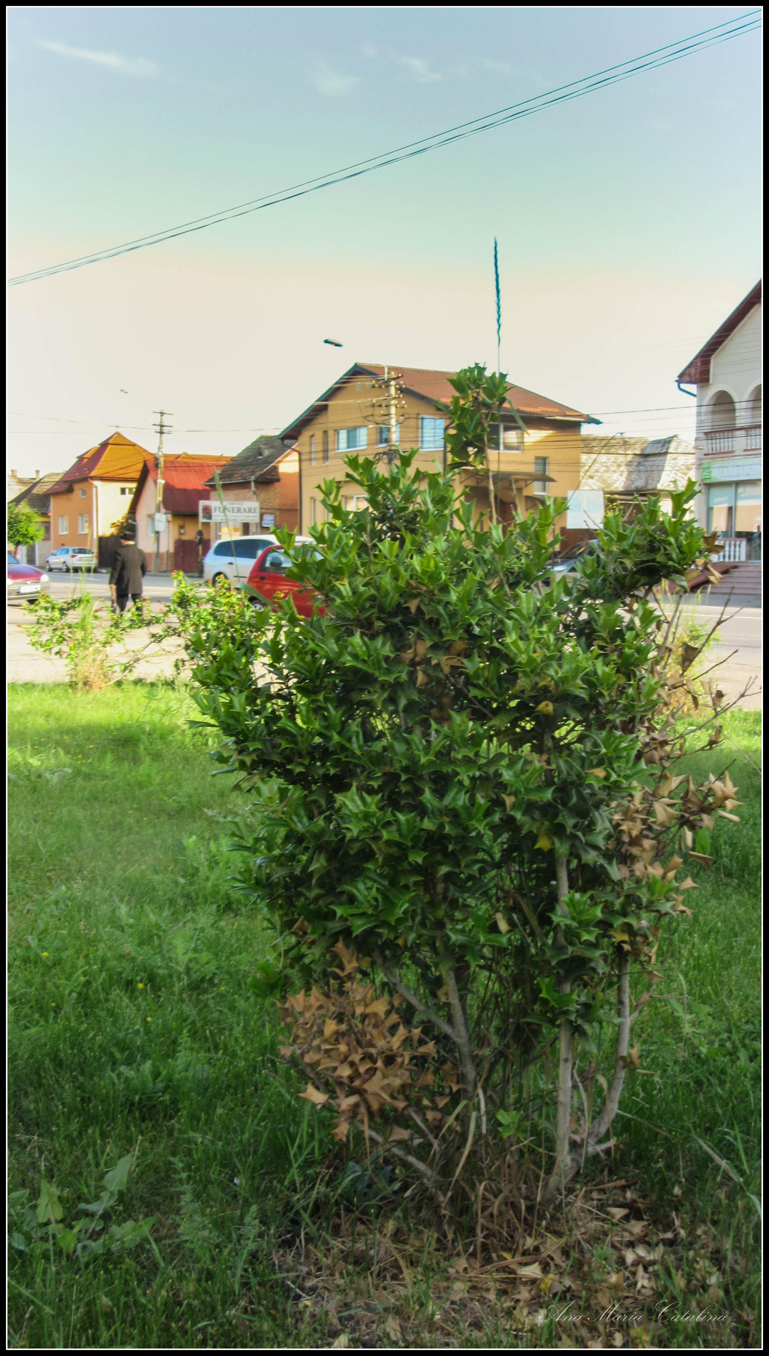 Photo: Str. Andrei Muresanu, spatiu verde   - Laur ( Ilex aquifolium) - 2017.06.09